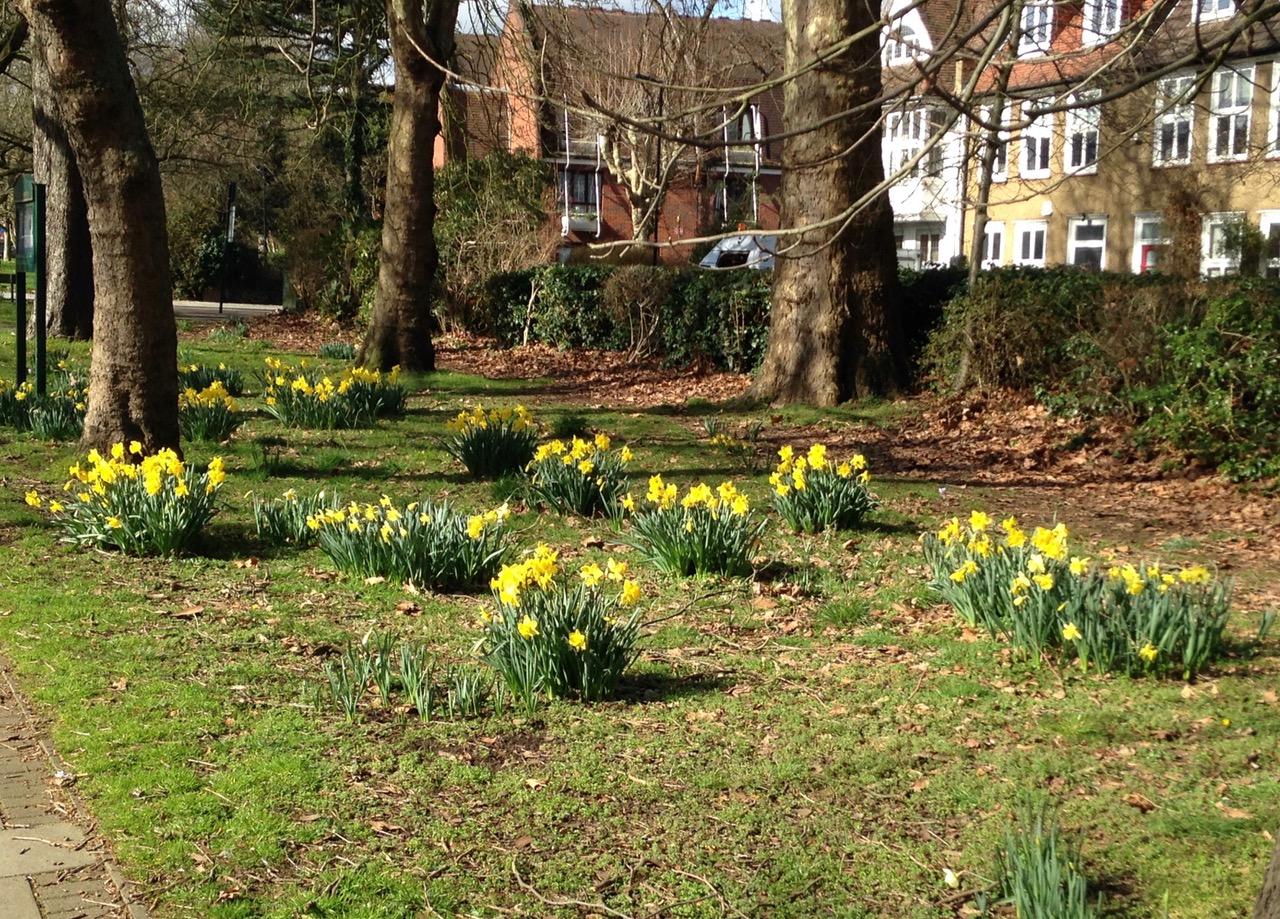 WERA daffodils