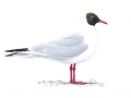 blackheadedgull