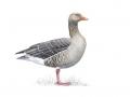 greylaggoose