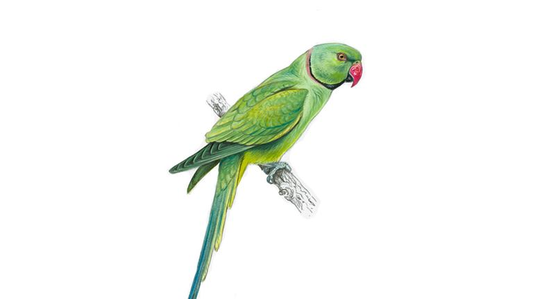 ring-necked-parakeet