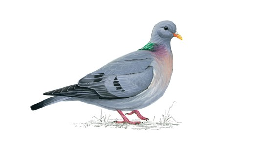stockdove