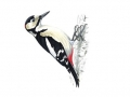 greatspottedwoodpecker_tcm9-18035