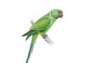 ring-necked-parakeet