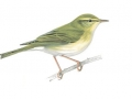 willowwarbler