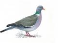 woodpigeons_master_tcm9-18492