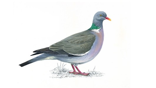 woodpigeons