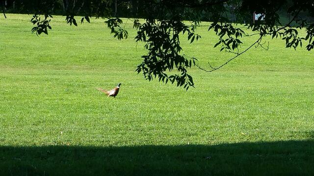2015 pheasant